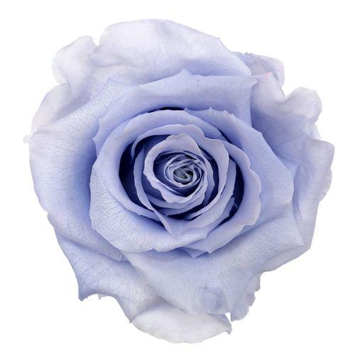 Preserved Andean Sky Rose