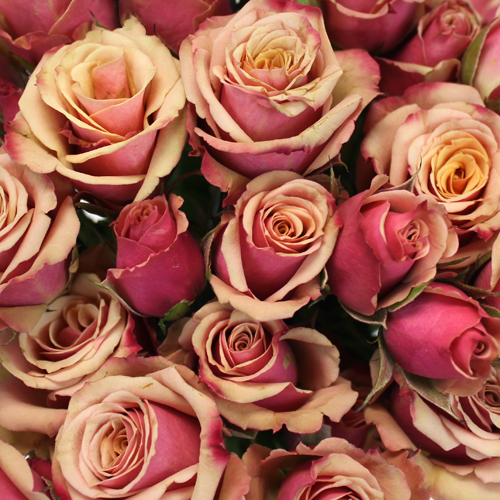 Antique Pink Spray Roses