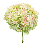 Bulk Hydrangea Giant Light Antiqued Flower