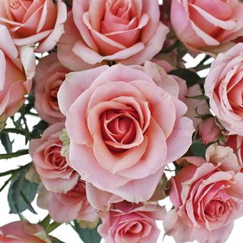 Antique Pale Pink Spray Rose