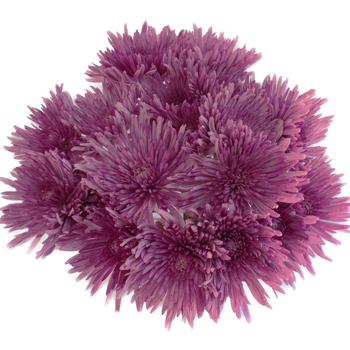 Antique Purple Spider Flower