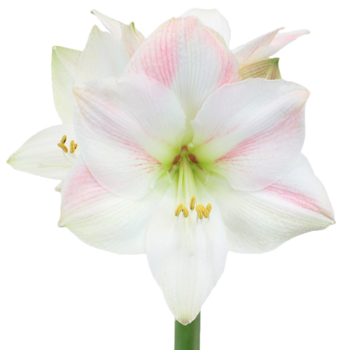 Apple Blossom Amaryllis Flower