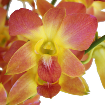 Apricot Punch Orchid Flowers