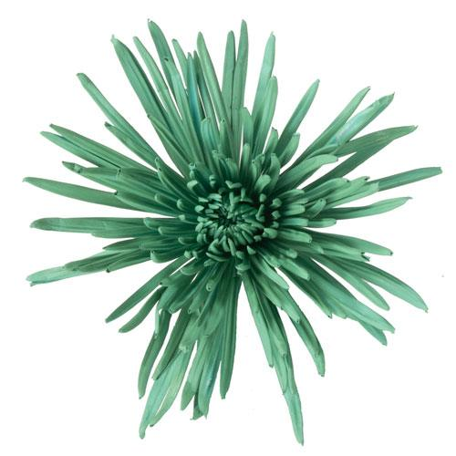 Aquamarine Airbrushed Spider Mum Flower