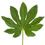 Single stem of aralia cut foliage leaves bulk greenery sold near me