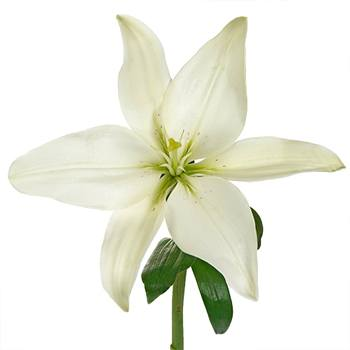 Creamy Dewdrop Asiatic Lily