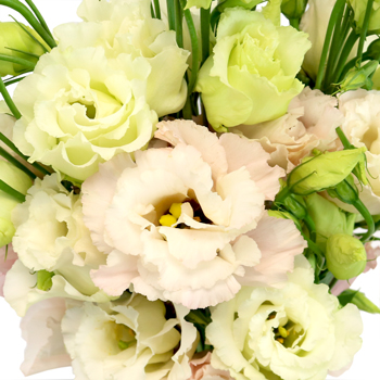 Blush Lisianthus Flower for October to May Delivery