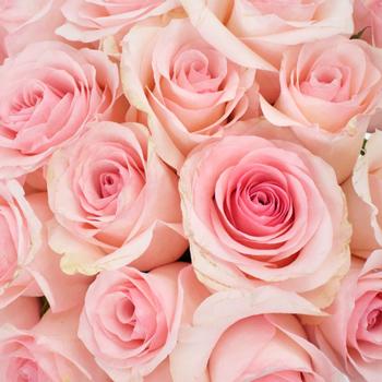 Blushing Arleen Rose