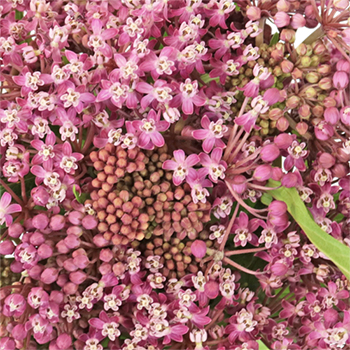 Sugar Berry Asclepia Flower