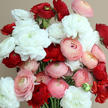 Valentine Ranunculus Fresh Cut Flowers
