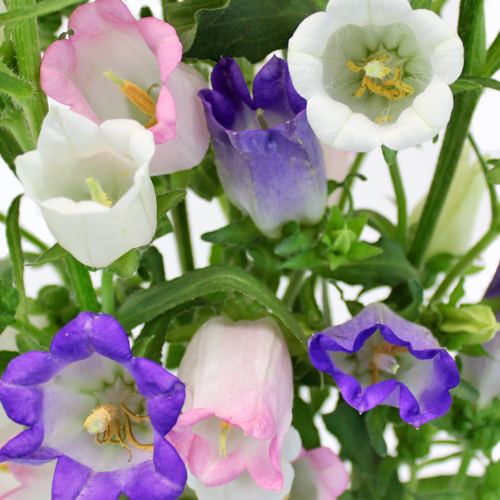 Assorted Campanula Flowers