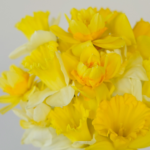 Mixology Daffodil Spring Flowers