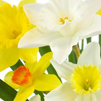 Mixology Daffodil Spring Wedding Flowers
