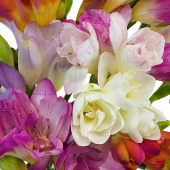 Farm Mix Assorted Colors Freesia Flowers