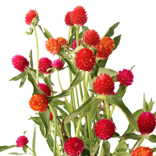 Farm Assorted Colors Gomphrena Flowers