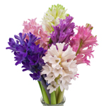 Light Pink Bulk Hyacinth Flower