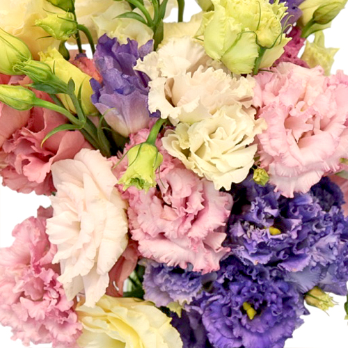Assorted Frill Lisianthus Flower for October to May Delivery
