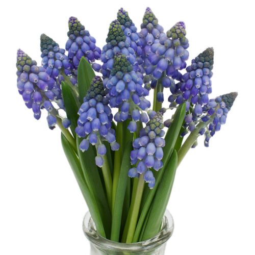 Grape Hyacinth Muscari Blue - October to December