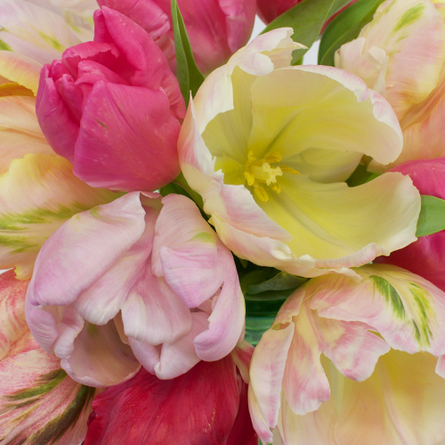 Parrot Tulips Farm Mix