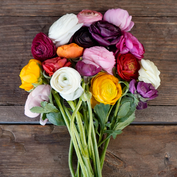 Farm Fresh Cut Ranunculus Flowers For Your House