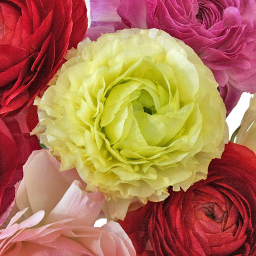 Farm Mix of Designer Japanese Ranunculus Flower