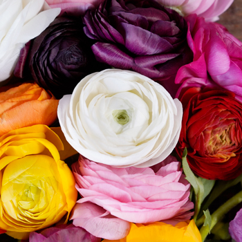 Assorted Colors Ranunculus Fresh Cut Flower