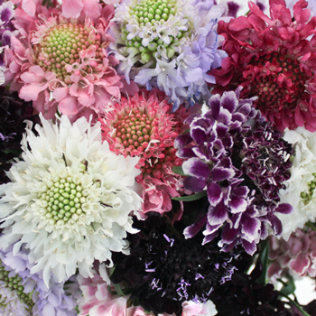 Assorted Farm Mix Scabiosa Flower