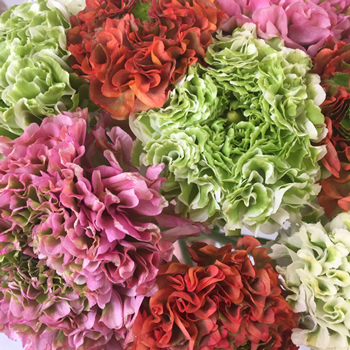 Assorted Pon Pon Ranunculus