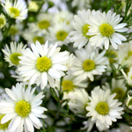 Aster Flowers White