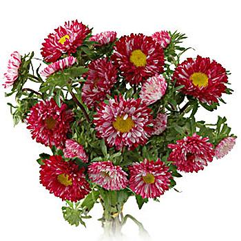 Monochromatic Pinky Matsumoto Aster Flowers