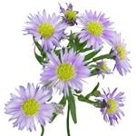 Lavender Aster Flower