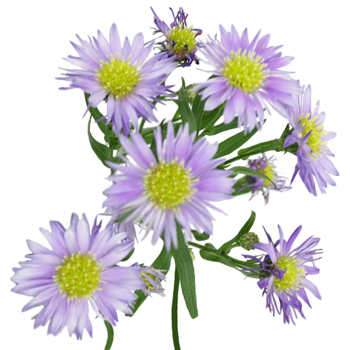 Light Purple Blush Aster Flower