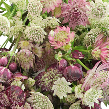 Burgundy Blush Astrantia Mix