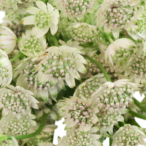 Ivory White Wedding Astrantia