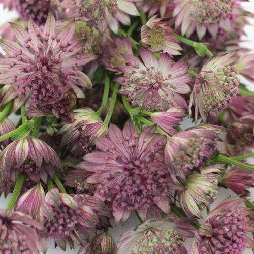 Pinky Lavender Wholesale Astrantia