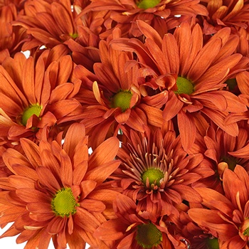 Cinnabar Daisy Flower