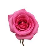 Hot Pink Rose Atache