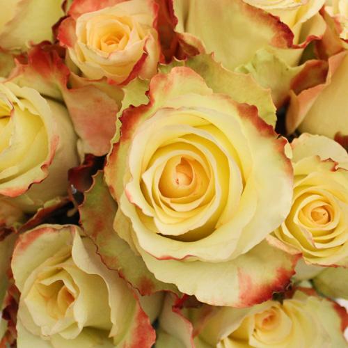 Aubade Unique Rose