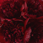 Peonies_Wedding_Red_Flowers