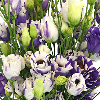 Purple Splash Mini Lisianthus Flower
