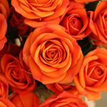 Dark Orange Spray Bulk Roses
