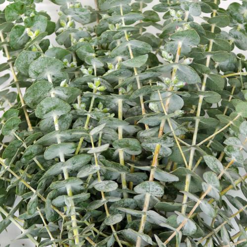 Baby Eucalyptus Greenery