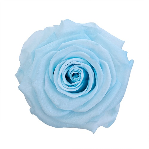 Preserved Baby Light Blue Rose