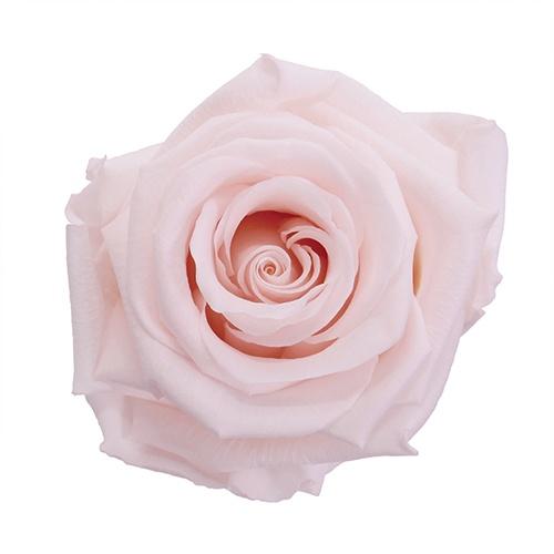 Preserved Baby Light Pink Rose