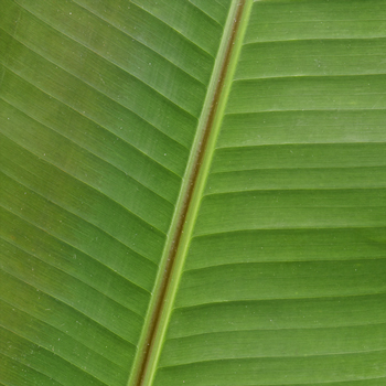 Banana Leaves Tropical Greenery