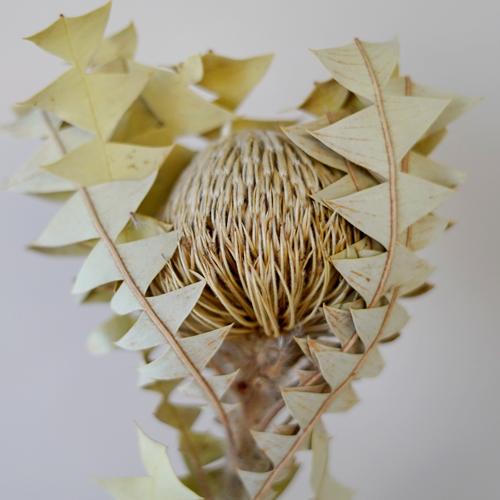 Dried Natural Banksia Baxteri Flower