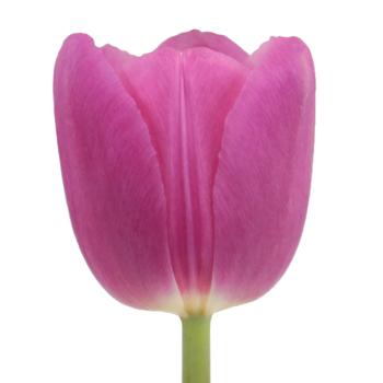 Barcelona Pink Bulk Tulips