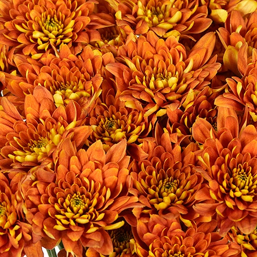 Mango Tango Spray Dahlia Style Flower