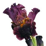 Dark Blue Bulk Iris Fresh Cut Flower