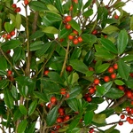 St. Augustine Holly - Buy Bulk FREE SHIPPING!